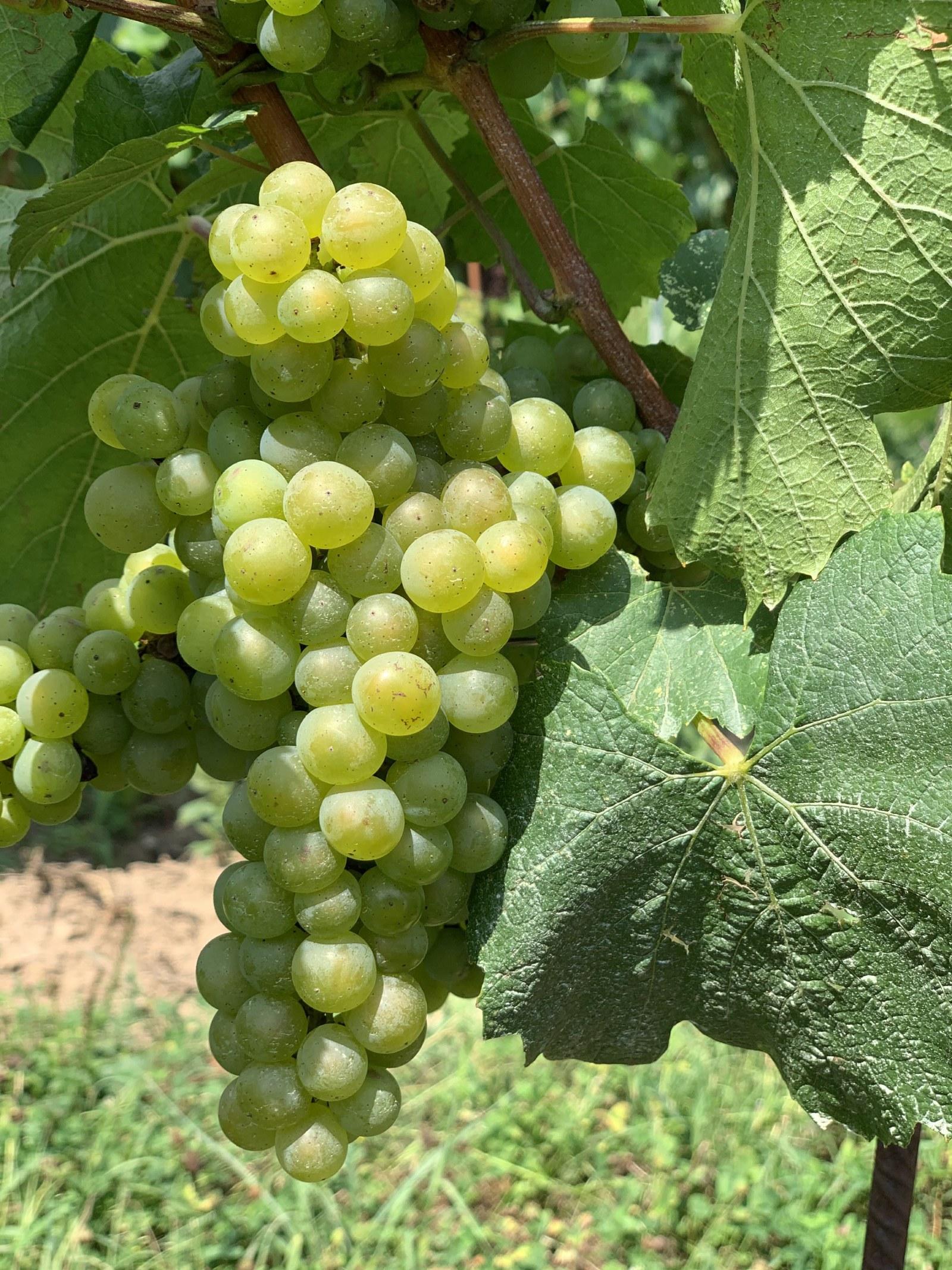 chardonnay grappolo